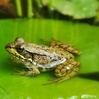 make a frog pond